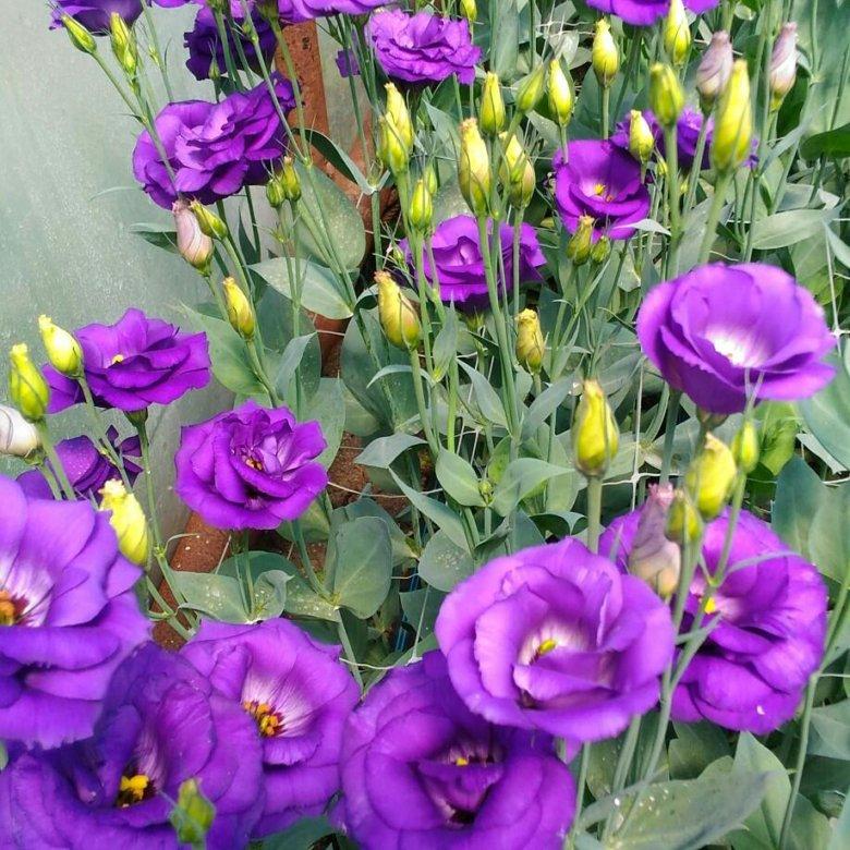 Букет роз, цветы эустома цена и уход