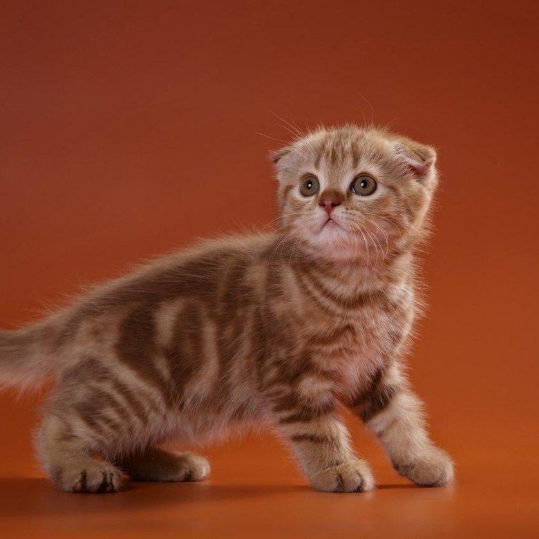 появление чистокровные шотландские вислоухие котята фото животное проводит большую