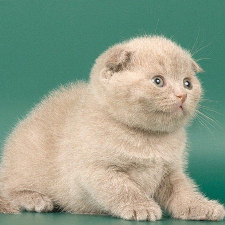 вычислили лиловый окрас шотландских кошек фото один
