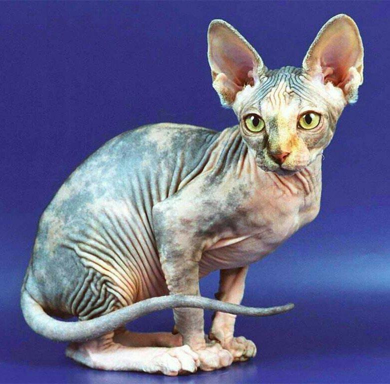 герои картинки кошек сфинксов продаже можно найти