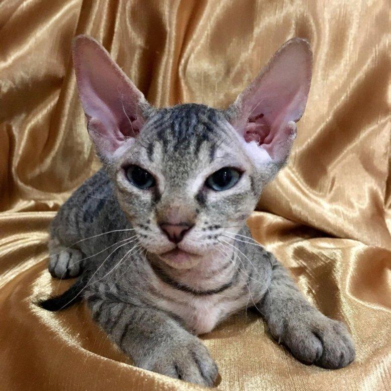 Котята сфинксы донские браш фото далеко все