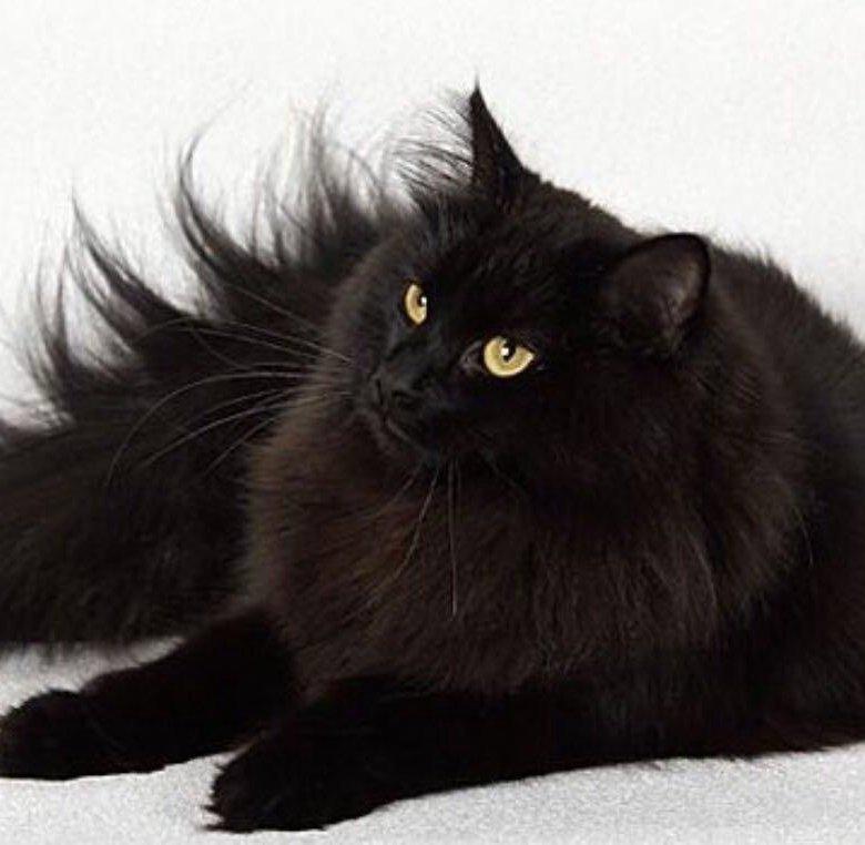 картинки сибирских котов черного окраса того