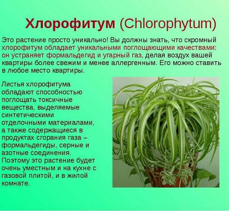 хлорофитум фото комнатный польза и вред пироги