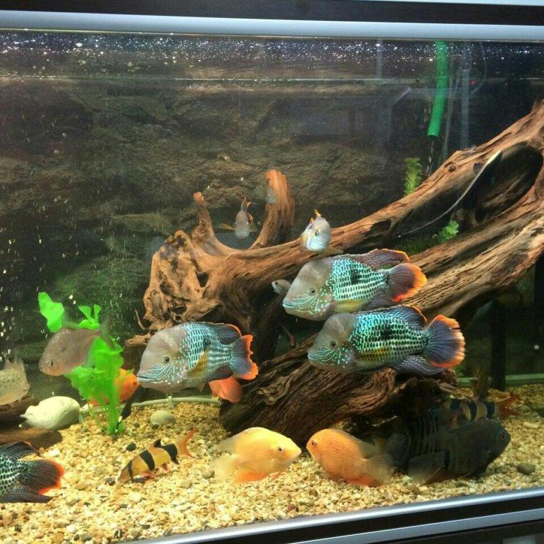 Дизайн аквариума для акары фото