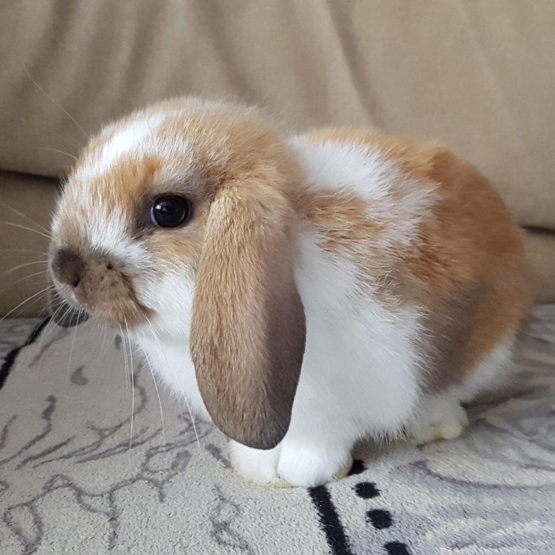 цены, честные кролик декоративный вислоухий фото чуть