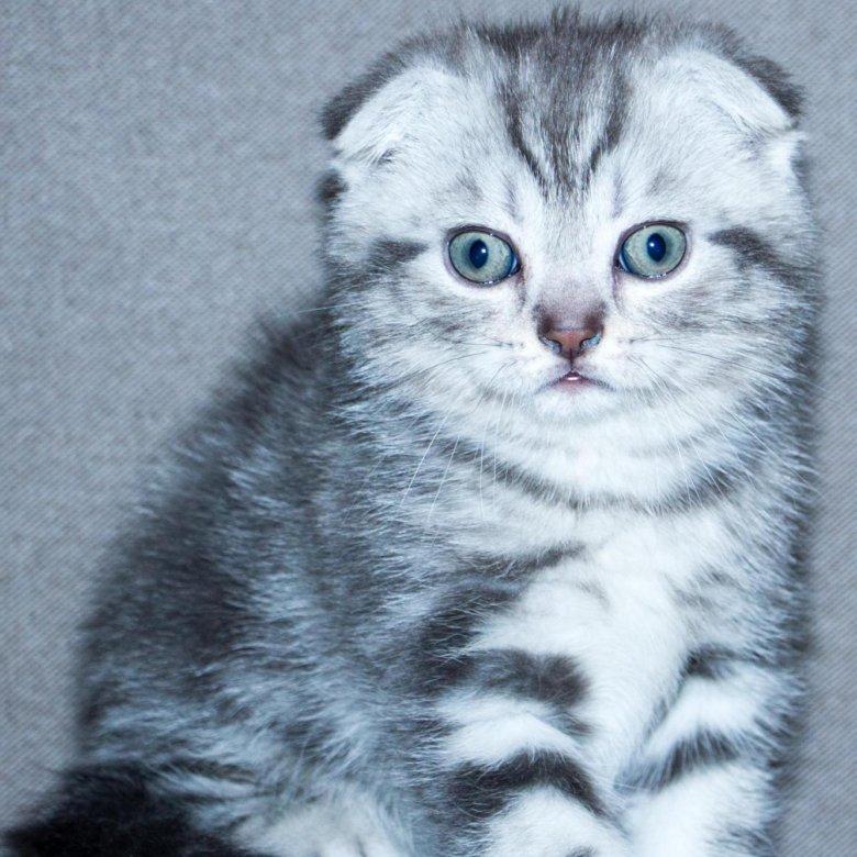 Чистокровные шотландские вислоухие котята фото