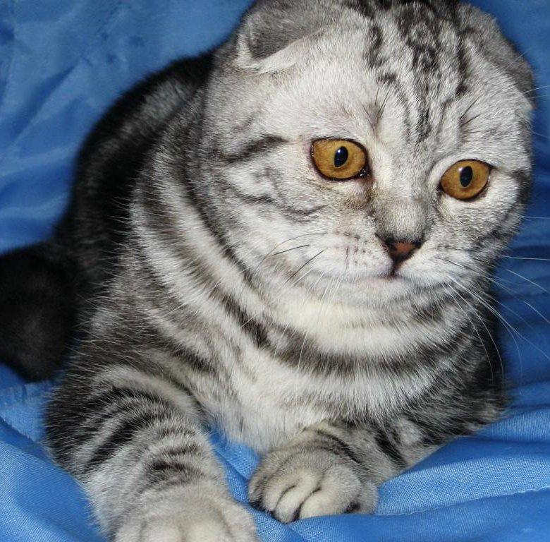 Фото котенка британца вислоухого