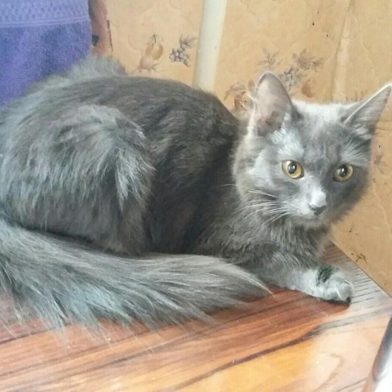 русская сибирская кошка фото голубая курской области