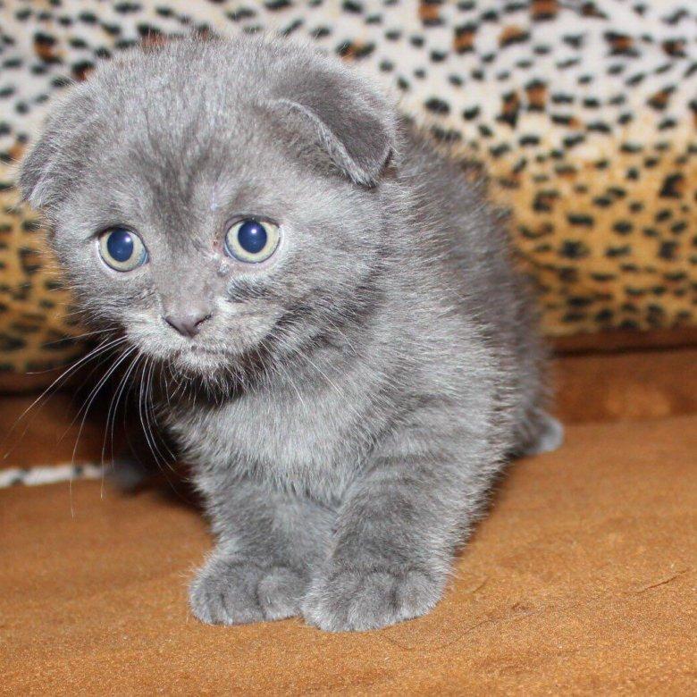 котята шотландские вислоухие развитие фото