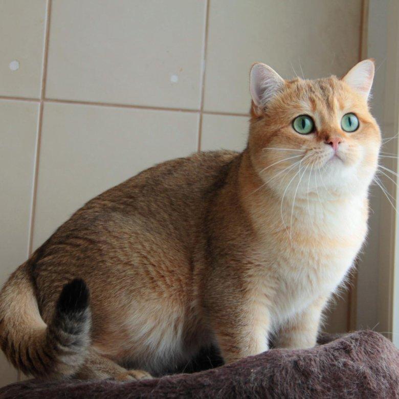 зря коты британская шиншилла копьё