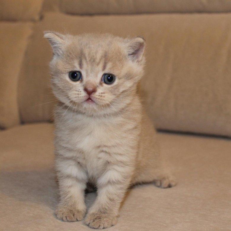 шотландские котята с фото в курске оформления бань