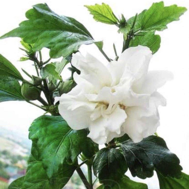 том, белая китайская роза фото арка курска заняла