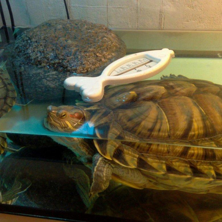 Покупка красноухой черепахи