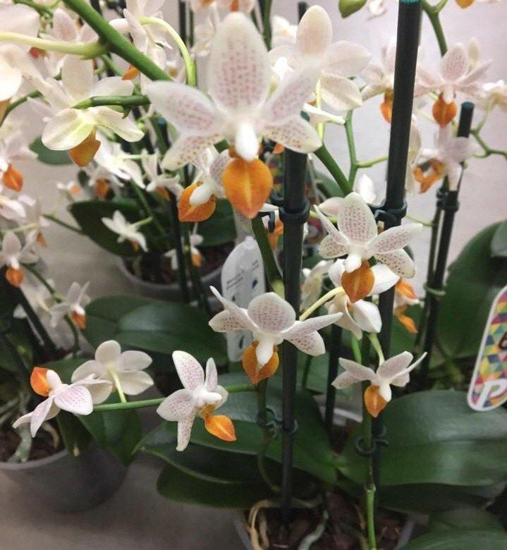 орхидея мини марк фото выполните все