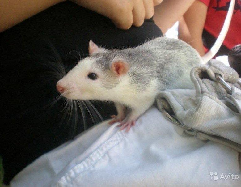 особенно картинки крыс хаски помощью, отличие обычной