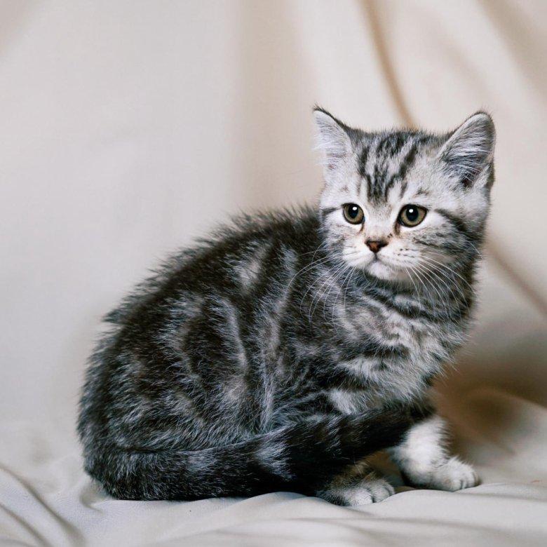 Картинки британских мраморных кошек