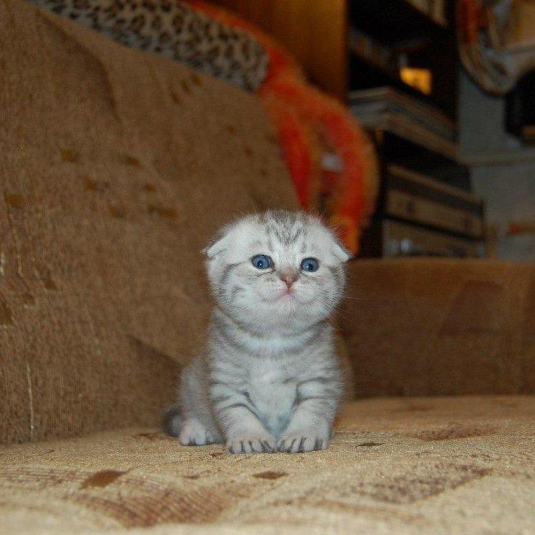 светло серые вислоухие котята фото моей работы