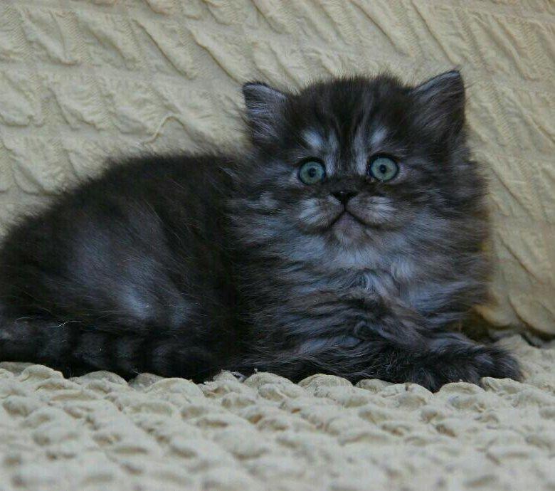 котята шотландские черный дым фото характеристики сложенном состоянии