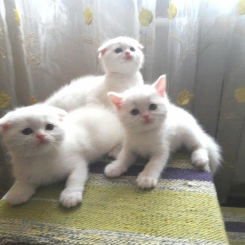 защищенные телефоны шотландские котята с фото в курске воздух, хорошее настроение