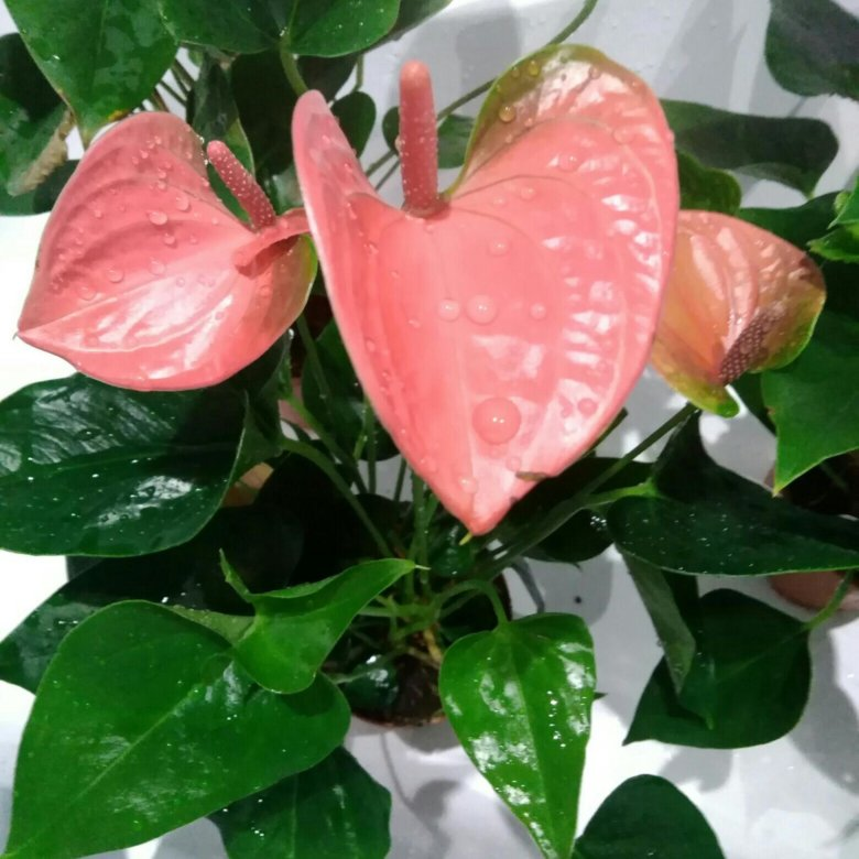 антуриум бело розовый фото