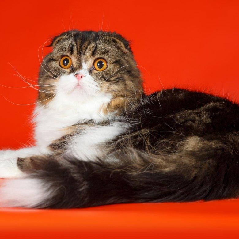 Коты хайленд фолд в приморском крае фото