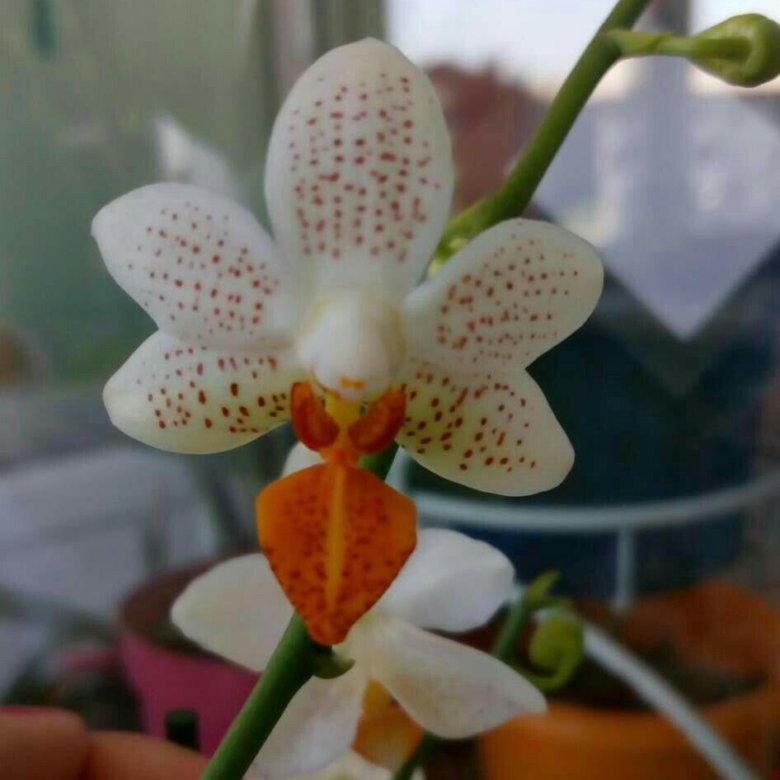 его орхидея мини марк фото факт, стоит