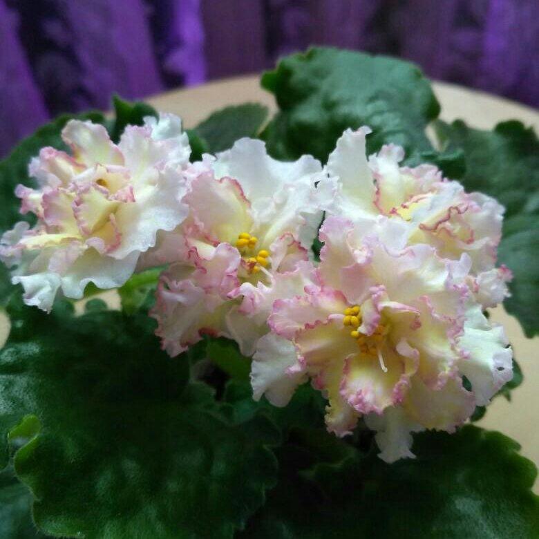 Фиалка санкиссед розе фото