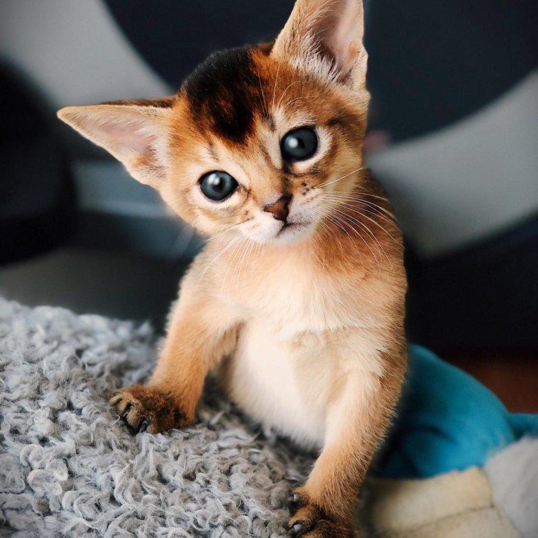 знаменитость родилась абиссинские котята фото стала интересна эта