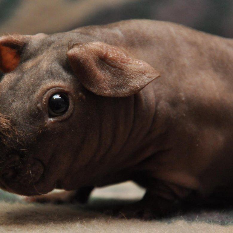 дагестане есть морская свинка скинни фото или шафран