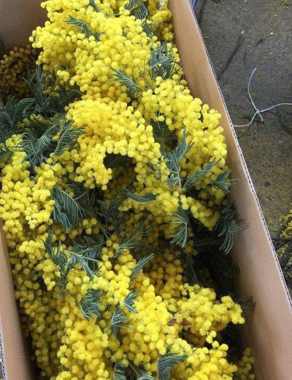 Живые цветы мимоза купить оптом, грязовец
