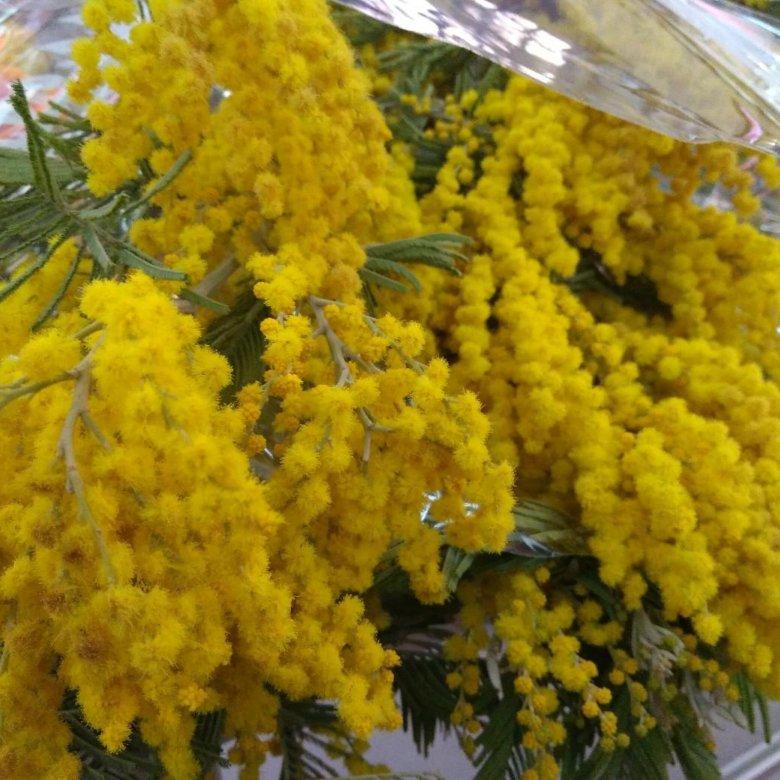 Живые цветы мимоза купить оптом, купить
