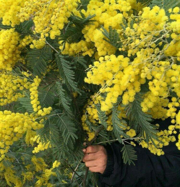 Живые цветы мимоза купить оптом, букета роз