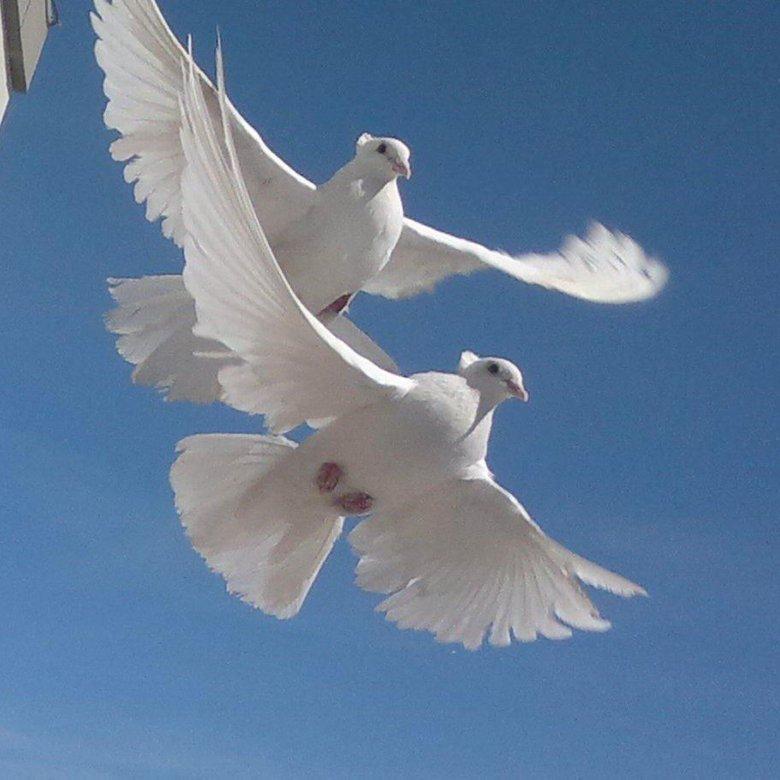 Прикольные для, картинки голуби свадебные