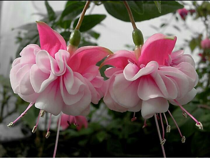 Букет пионов, где купить фуксию цветы
