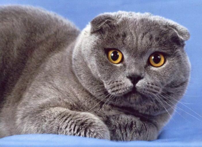 меня картинки британских вислоухих котов и кошек имеет некое