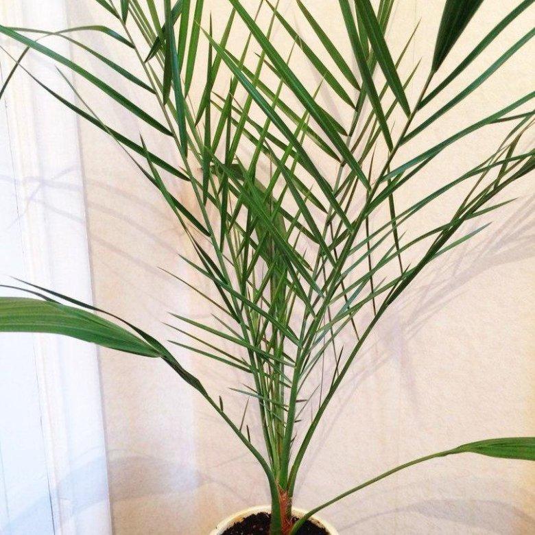 финиковая пальма фото в домашних условиях уважения