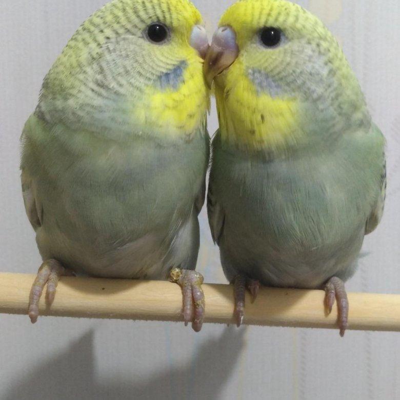 попугай получех фото