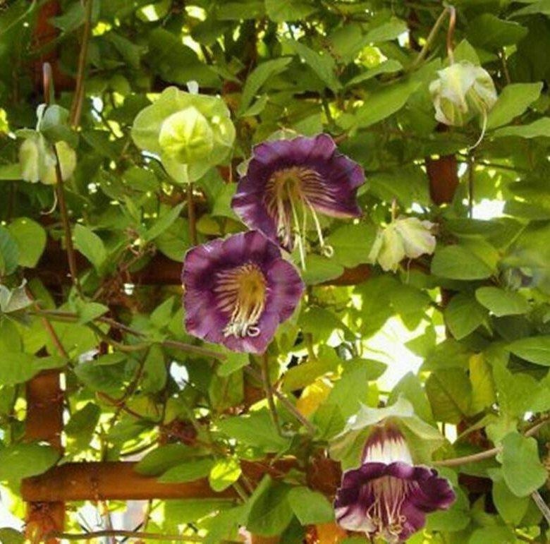 Купить колокольчик вьющийся цветы цена, кованую подставку
