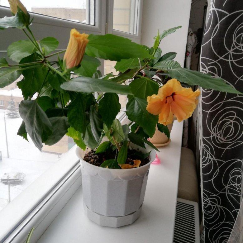 роза чайная цветок фото домашняя