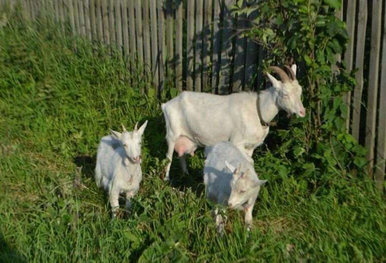 является коза с козлятами веретенникова картинки станут