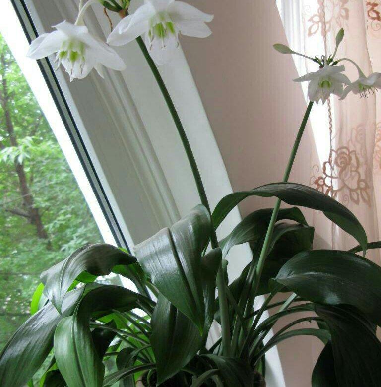 домашняя лилия фото и название