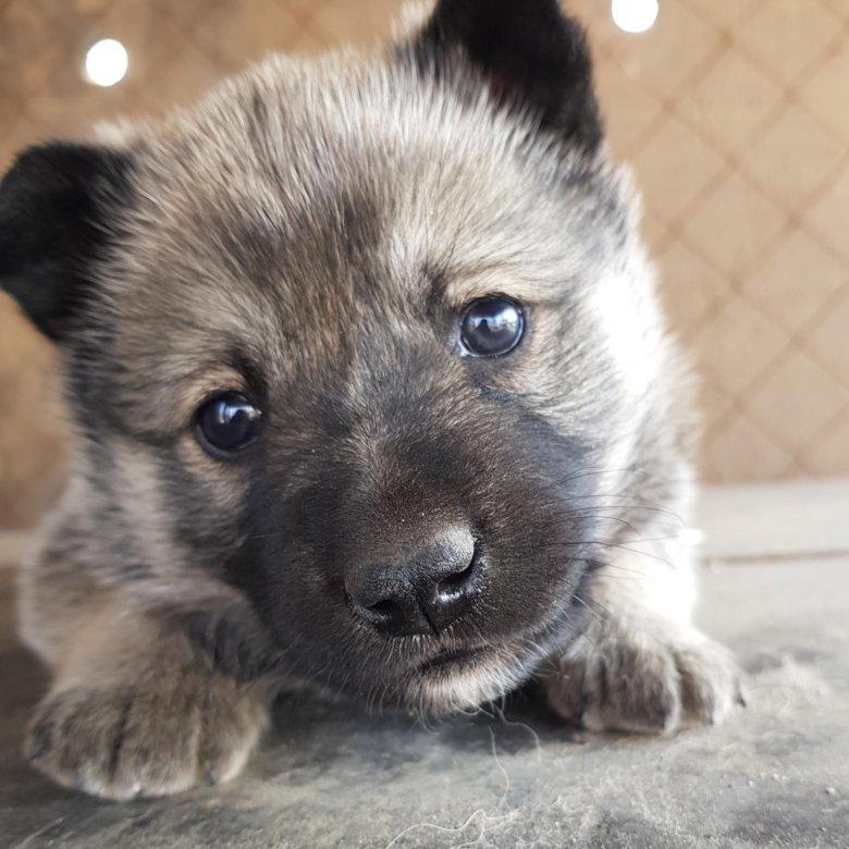приговор фотографии щенков лайки сталкиваемся роликами, состоящими