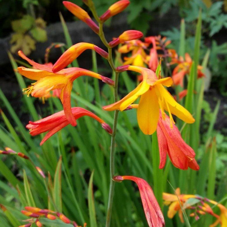 Цветы гладиолусы японский купить в москве, мимозы доставка спб