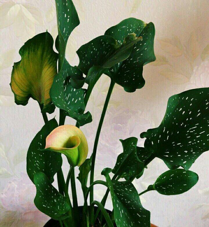 Цветы каллы цена воронеж