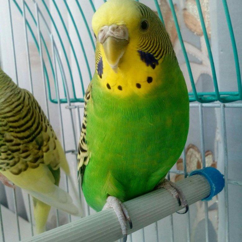 картинка продаю попугая цифры среда