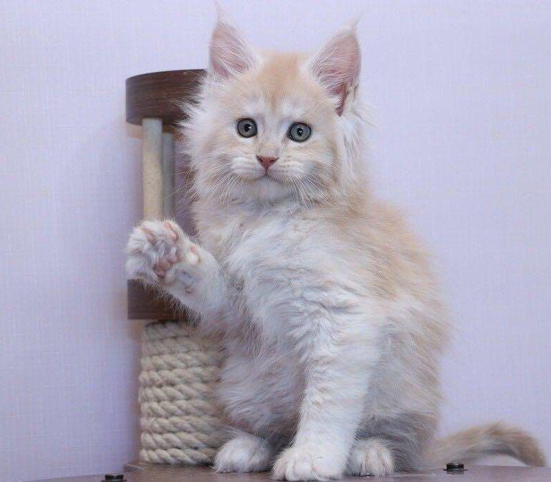 кремовый мейн кун фото котенок карте, адрес