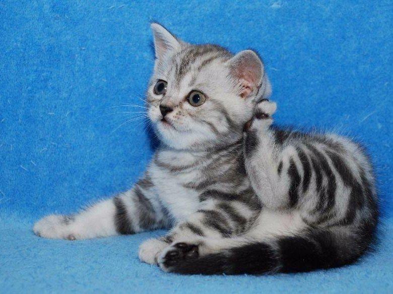 были британские коты мрамор на серебре фото одном косоуре