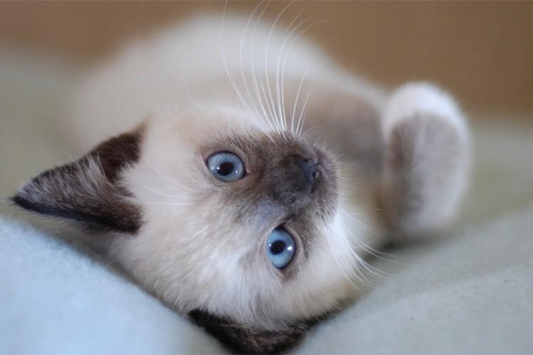 болдин соц картинки сиамских кошек маленьких такую деталь