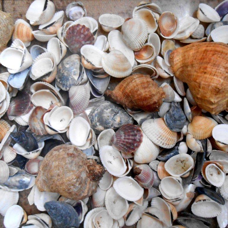 Черноморские ракушки названия и фото