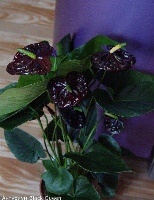Букеты, черный принц цветы купить украина